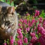 L'Erica: pianta perenne sempreverde