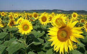 1214652_sunflowers