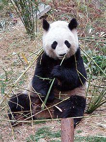 Il panda gigante: una specie a rischio