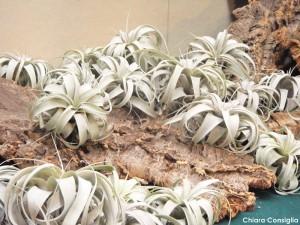 Tillandsia, la pianta che vive senza terra e con poca acqua…..a Curiosa in fiera
