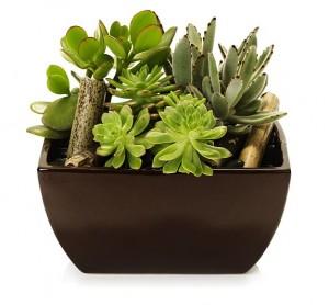 Come annaffiare le piante grasse