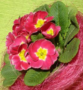 746251_spring_primula_flower_2