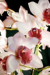 L'orchidea: cosa fare perchè rifiorisca? Consigli e video
