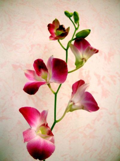 Orchidea - Come curare un orchidea in casa ...