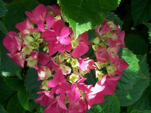 Ortensia: come conservarla a lungo nei vostri vasi